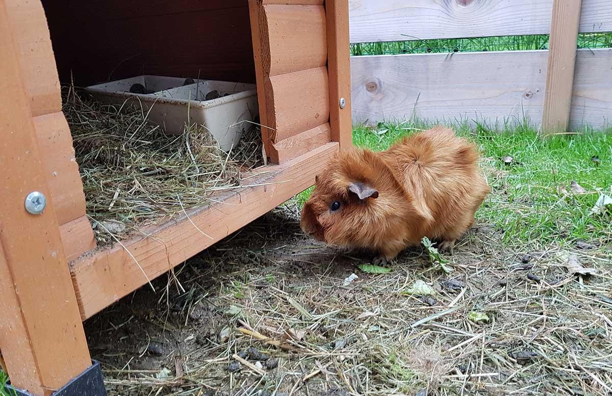 Die-Straußenfarm-am-Lindenhof-in-Auffen-meerschweinchen