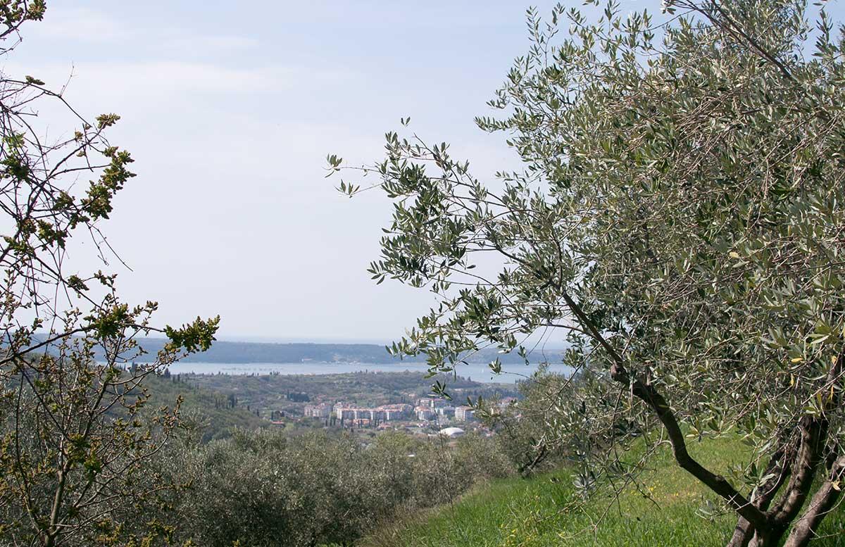 Ausflug nach Koper und Besuch des Hotel Bernardin Olivenbaum hain blick zu meer