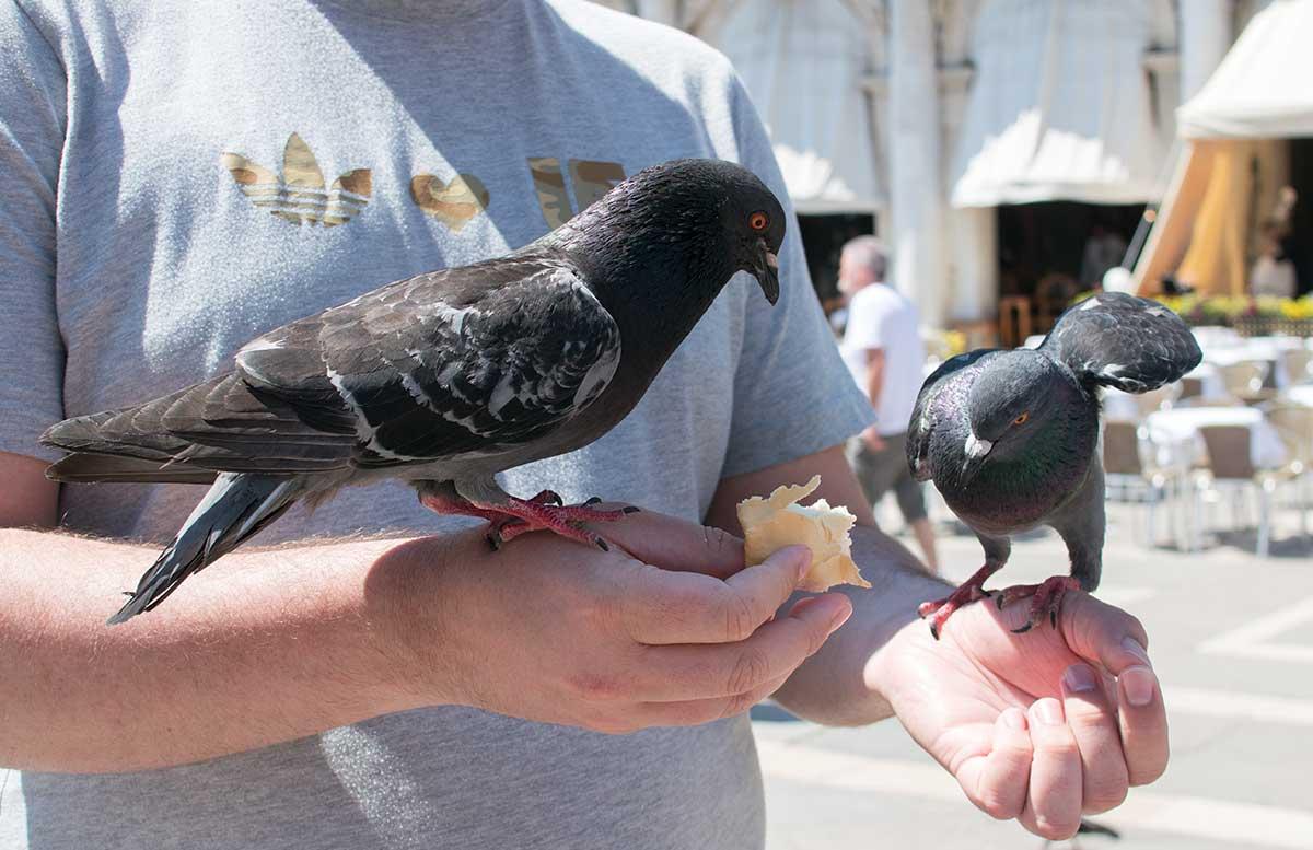 Ausflug nach Venedig und Cavallino tauben am Markusplatz füttern verboten