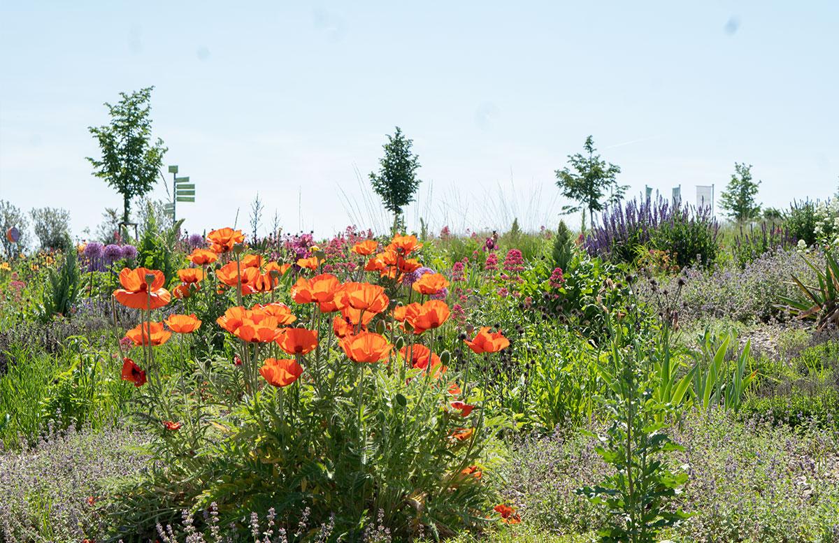 Ausflugsziele-für-Familien-in-Südmähren-mohnblumen