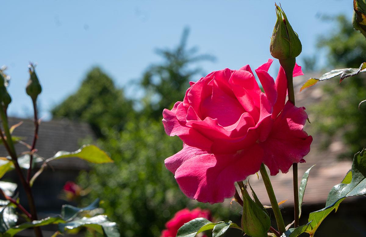 Ausflugsziele-für-Familien-in-Südmähren-rosa-rose