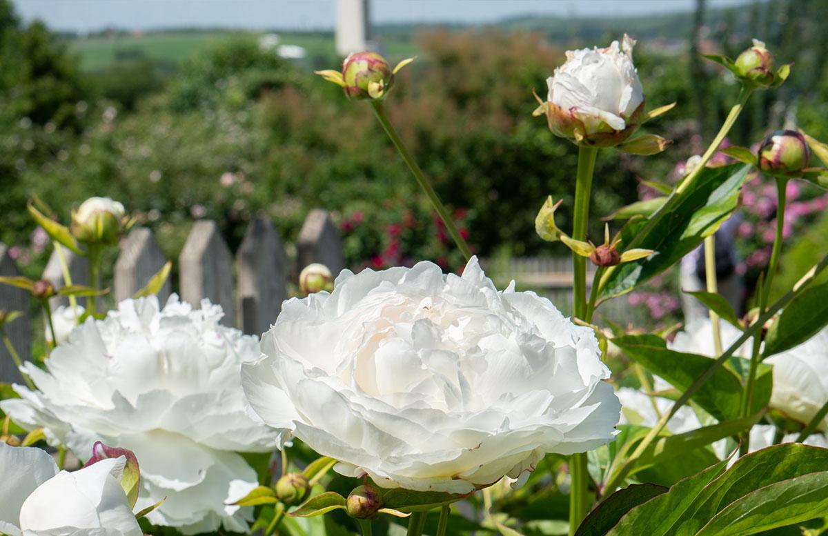 Ausflugsziele-für-Familien-in-Südmähren-rosen