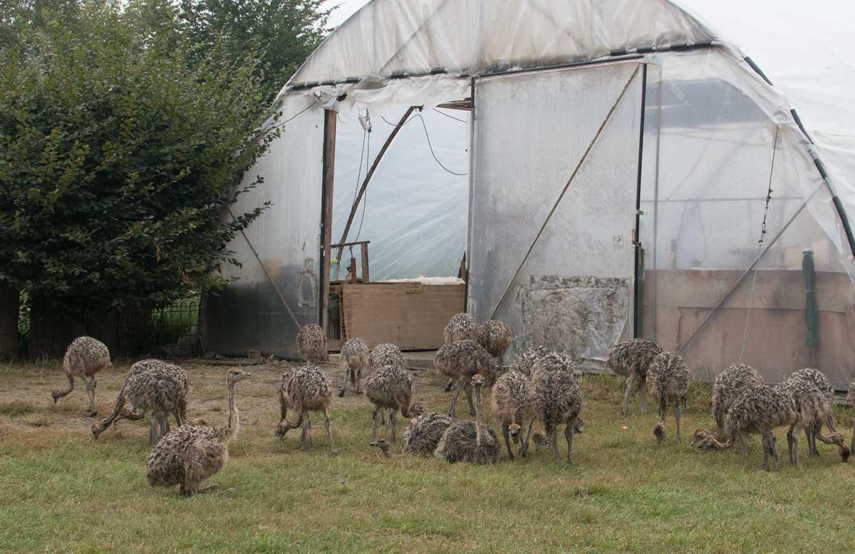 Die Straußenfarm am Lindenhof in Auffen eingang straußendamen nachwuchs