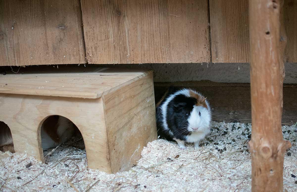 hotel-ebners-waldhof-am-see-meerschweinchen
