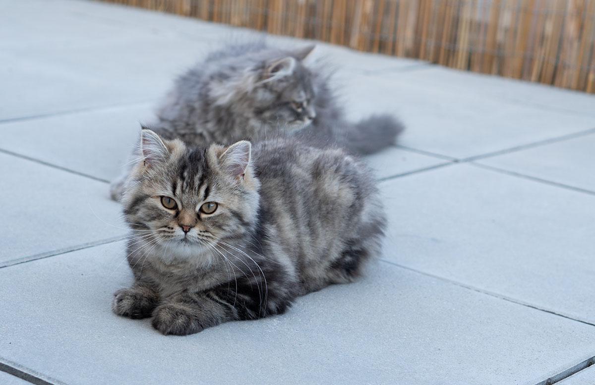 Luna und Peppa - unsere Sibirische Waldkatzen outfit paperbag hose peppa luna