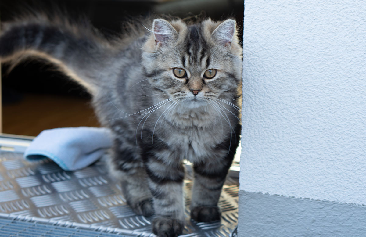 Luna und Peppa - unsere Sibirische Waldkatzen peppa
