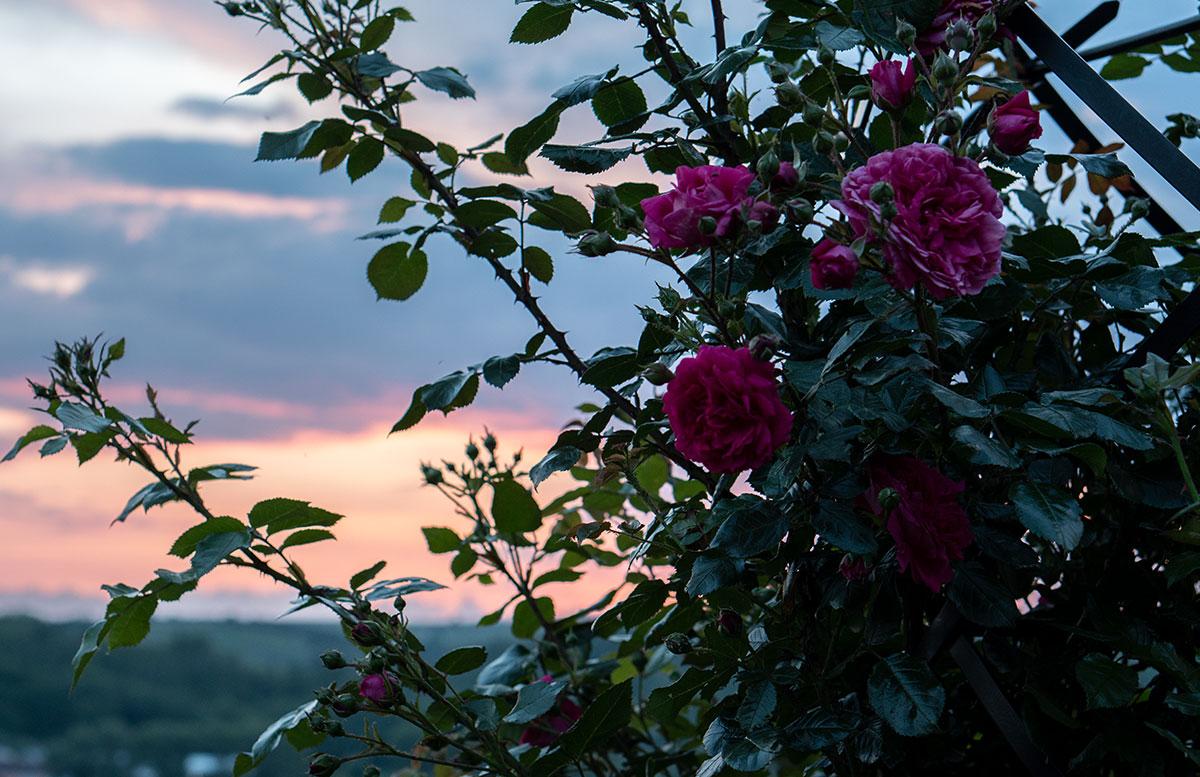 Parks-und-Gärten-in-Niederösterreich-und-Südmähren-pension-andre-sonnenuntergang-rosen
