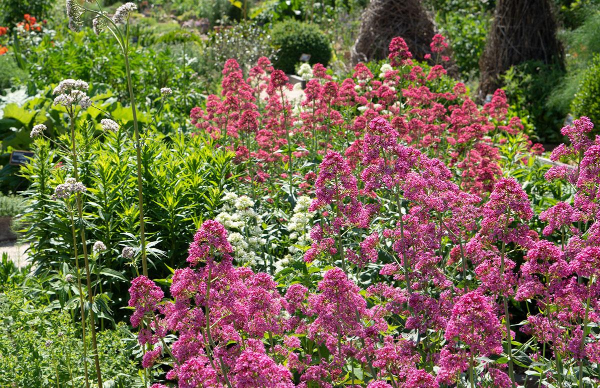 Parks-und-Gärten-in-Niederösterreich-und-Südmähren-stuhl-im-garten-kräutergarten-lu-und-tiree-chmelar-rosa-blüten