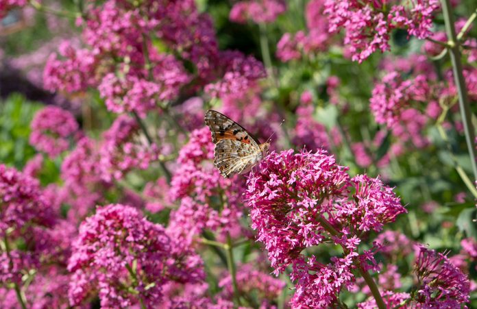 Parks-und-Gärten-in-Niederösterreich-und-Südmähren-stuhl-im-garten-kräutergarten-lu-und-tiree-chmelar-rosa-blütenschmetterling