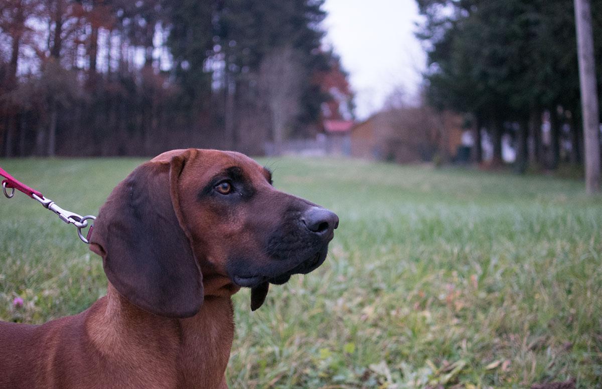 wandern-am-grünberg-in-gmunden-hund-heiko