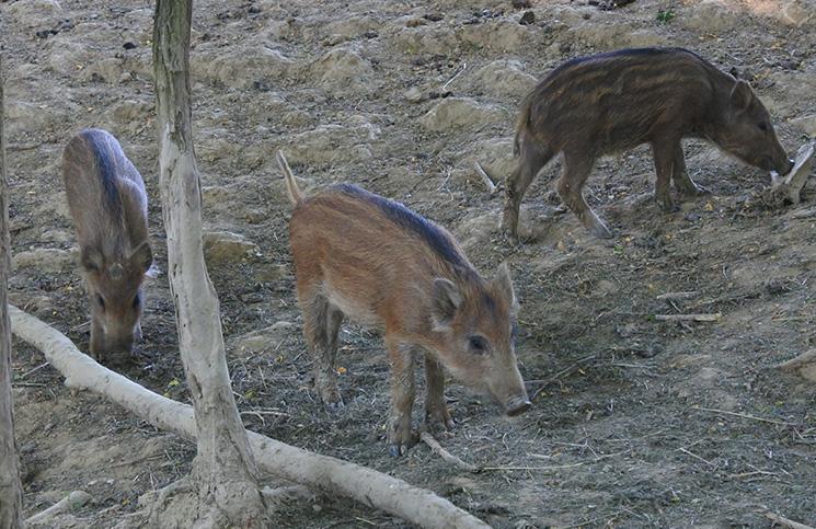 wildschweine-mansion-podlipje